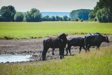 Wasserbüffel am neu angelegten Teich
